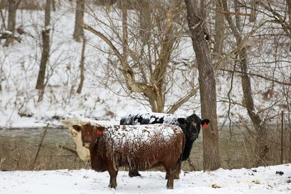 Snow clung to cattle in a pasture along Cox's Creek Monday morning.