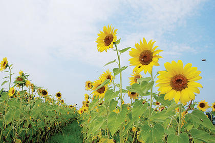 A field of sunflowers was in full bloom July 8 on Murray Run Road. While in the bud stage, sunflowers exhibit heliotropism, which means they respond to the direction of the sun.